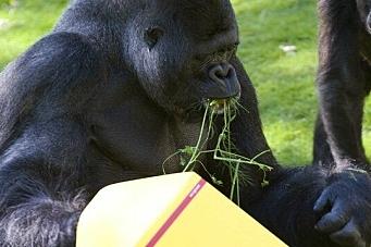 - Jeg skulle gjerne ha fraktet ni gorillaer …