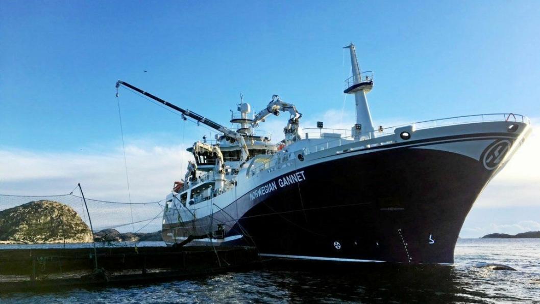 På grunn av tingrettens midlertidige forføyning har Norwegian Gannet kommet i drift de siste par ukene. Her henter skipet opp laks fra et anlegg ved Farsund.