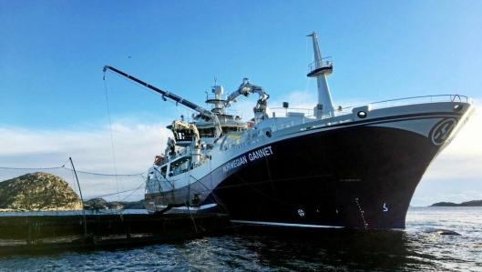 NYTT KONSEPT: Siden januar har Norwegian Gannet slaktet rundt 15.000 tonn laks, og fraktet laksen direkte til Hirtshals.