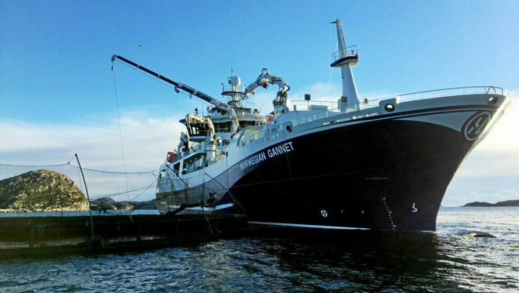 Norwegian Gannet slakter laksen ved merdkanten og frakter det rett til markedet. Den praksisen vil fiskeriministeren til livs.